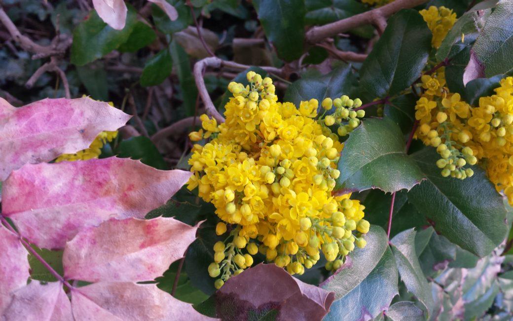 Prisma Natura Heilpflanze Mahonie