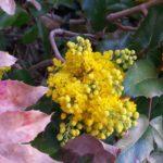 Gelbe Blüte einer Mahonie