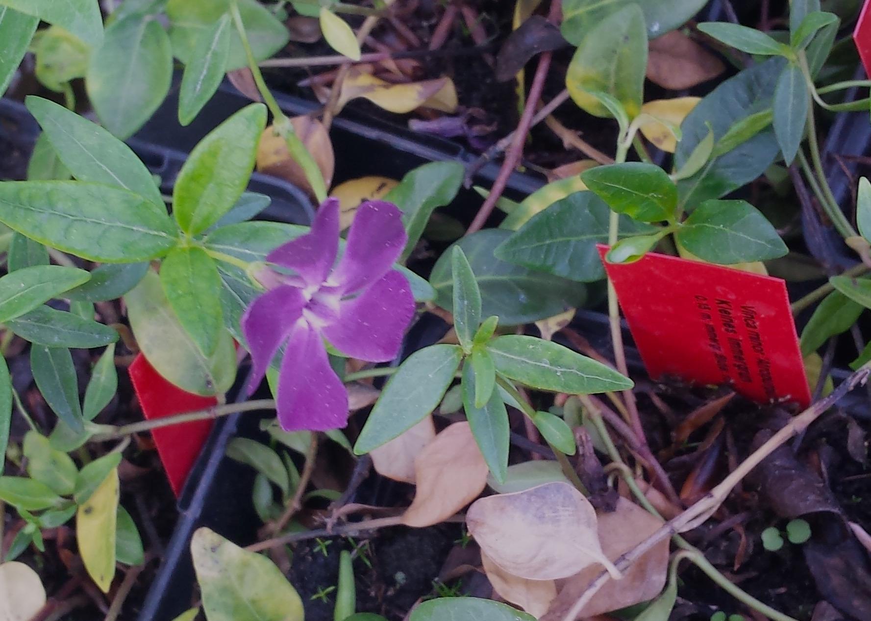 Fuchsiafarbenes Immergrün im Gartencenter
