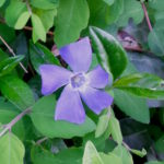 Lila Blüte des Kleinen Immergrüns