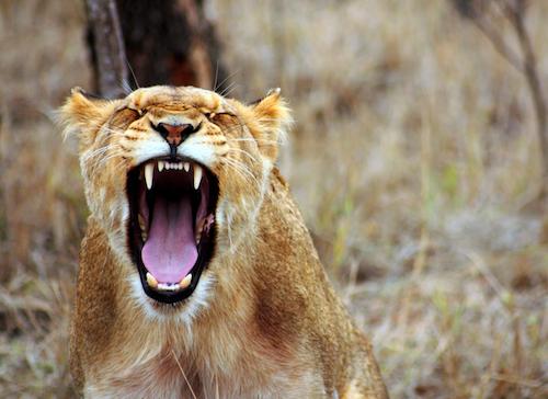 zornige, brüllende Löwin